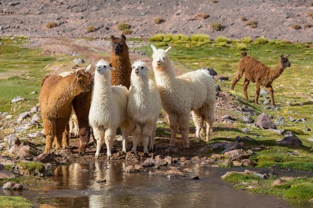 Lama nella remota area dell'argentina