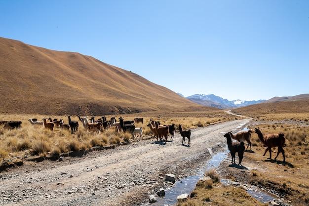 Lama allo stato brado negli altopiani della bolivia - altiplano - vicuna alpaca lama
