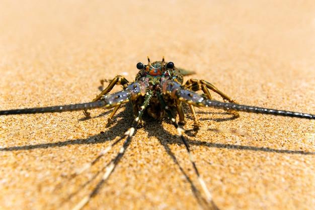 Aragosta allo stato brado sull'isola dello sri lanka