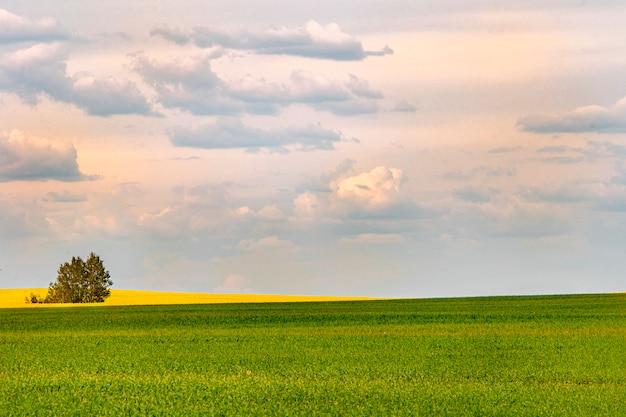 Un albero solitario in un campo di colza