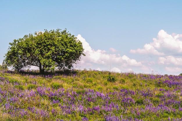 Un albero solitario su una collina con lupini in fiore