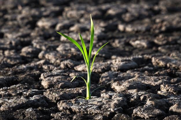 Germoglio verde solitario in terra incrinata asciutta
