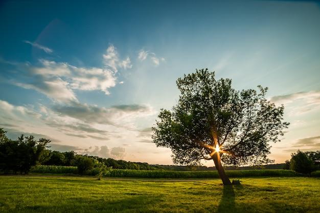 Albero verde solitario sul tramonto, paesaggio estivo