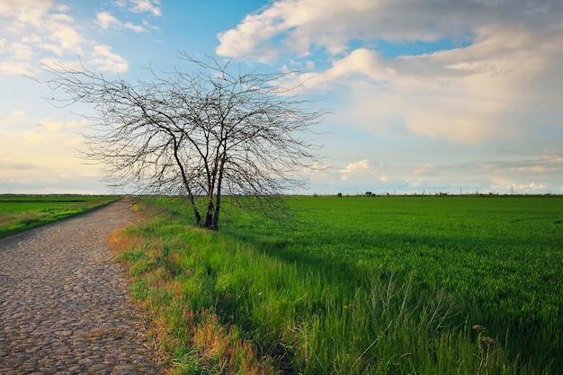 Albero solitario su un campo con grano giovane verde e strada. bel paesaggio. composizione della natura.
