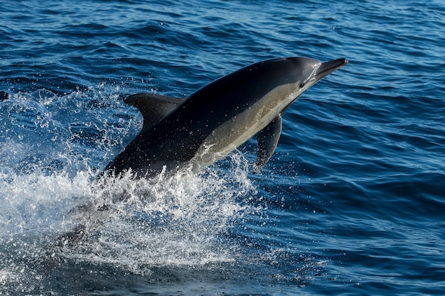 I delfini comuni dal becco lungo saltano fuori dall'acqua a sud, saltando in aria