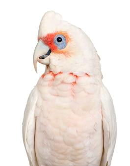 Corella dal becco lungo - cacatua tenuirostris su un bianco isolato. sembra simile nell'aspetto alla piccola corella e al cacatua crestazolfo