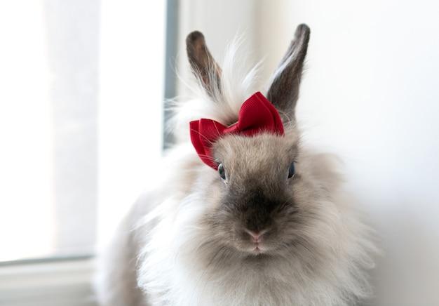 Coniglio adulto grigio a pelo lungo con un fiocco rosso sulla testa
