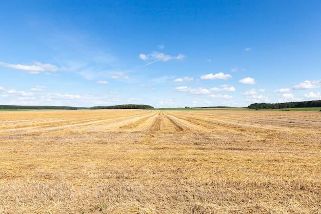 Lunghe file di semi di stoppie di piante di cereali dopo la raccolta del paesaggio estivo