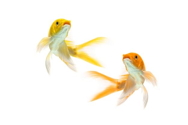 Pesce koi coda lunga che nuota su sfondo bianco