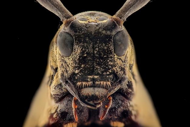 Macro del fronte dello scarabeo della mucca texana