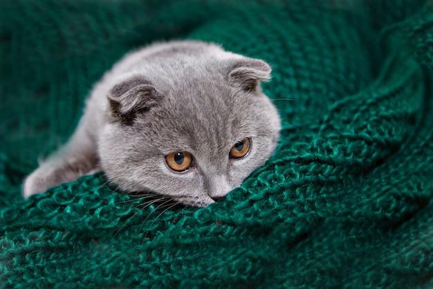 Un gatto scozzese dalle orecchie cadenti che si trova. un animale su un tessuto verde. divertimento per gli animali domestici