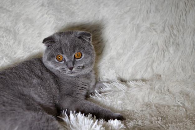 Un gatto scozzese dalle orecchie cadenti che si trova. un animale su uno sfondo bianco. divertimento per gli animali domestici