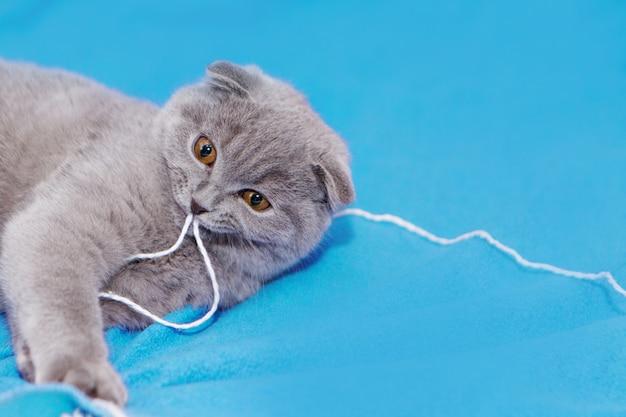 Un gatto scozzese dalle orecchie cadenti gioca con gomitoli di lana. un animale su sfondo blu. divertimento per gli animali domestici