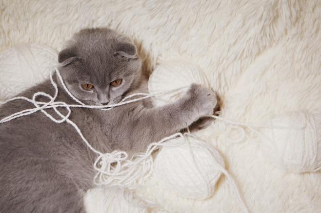 Un gatto scozzese dalle orecchie cadenti gioca con gomitoli di lana. un animale su uno sfondo bianco. divertimento per gli animali domestici