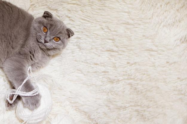 Un gatto scozzese dalle orecchie cadenti gioca con gomitoli di lana