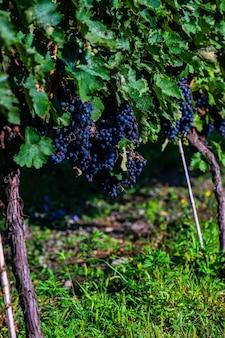 Vigneto lopota vicino a napareuli nella regione vinicola della georgia, kakheti nella giornata di sole
