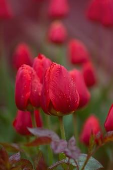 Lotto di tulipano rosso in campo. bellissimo tulipano rosso in campo su tulip farm. tulipani rossi che crescono sul campo