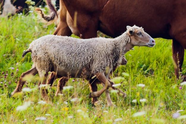 Molte pecore sul bello prato verde