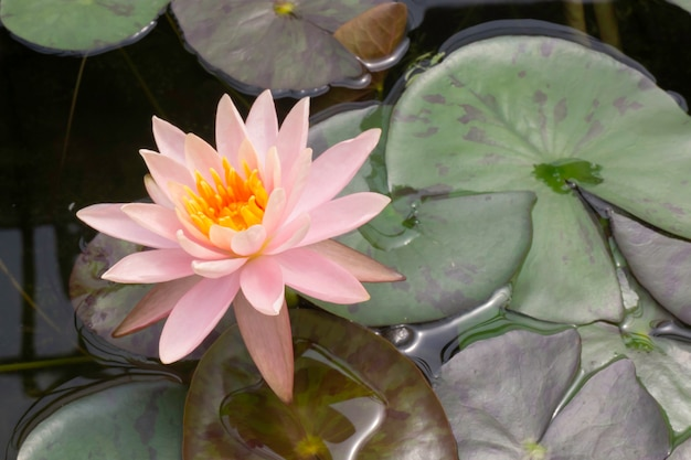 Fiore di loto nel giardino botanico, foto d'archivio