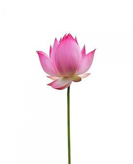 Fiore di loto isolato su sfondo bianco. il file contiene un tracciato di ritaglio così facile da lavorare.