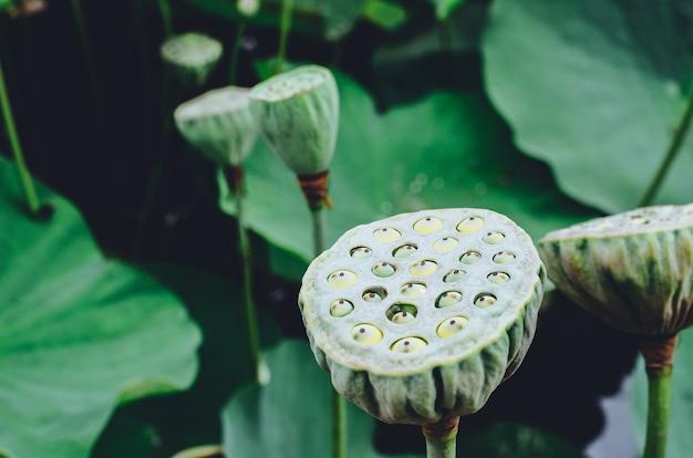 Fiore di loto che cresce in piscina