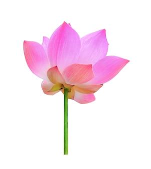 Fiore di loto su sfondo bianco