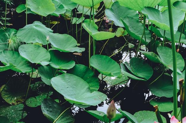 Foglia di loto che galleggia nello stagno