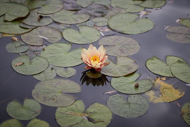 Fiore di loto giallo e foglia nella superficie dell'acqua di stagno vista dall'alto mattina all'aperto. vista orizzontale.