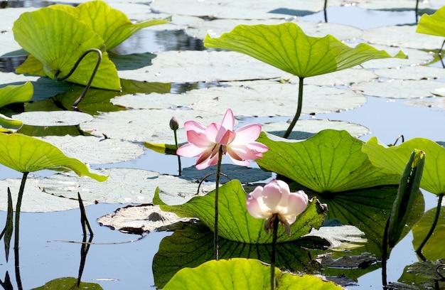 Lotuses in una pianura alluvionale del fiume volga nella regione di volgograd in russia