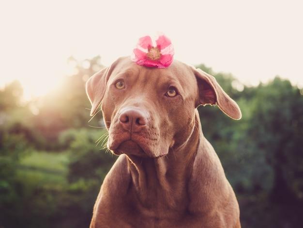 Adorabile, grazioso cucciolo di colore marrone. primo piano, all'aperto. luce del giorno. concetto di cura, educazione, addestramento all'obbedienza e allevamento di animali domestici