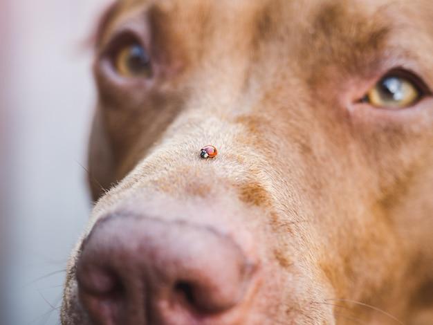 Adorabile, grazioso cucciolo color cioccolato. avvicinamento