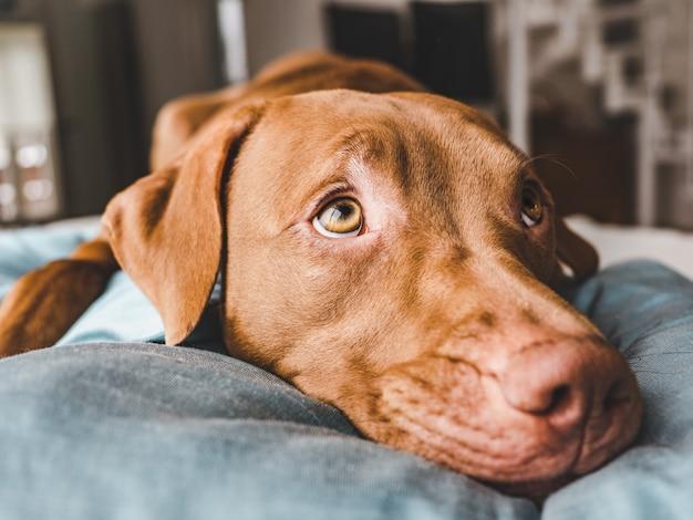 Adorabile, grazioso cucciolo di color cioccolato. avvicinamento