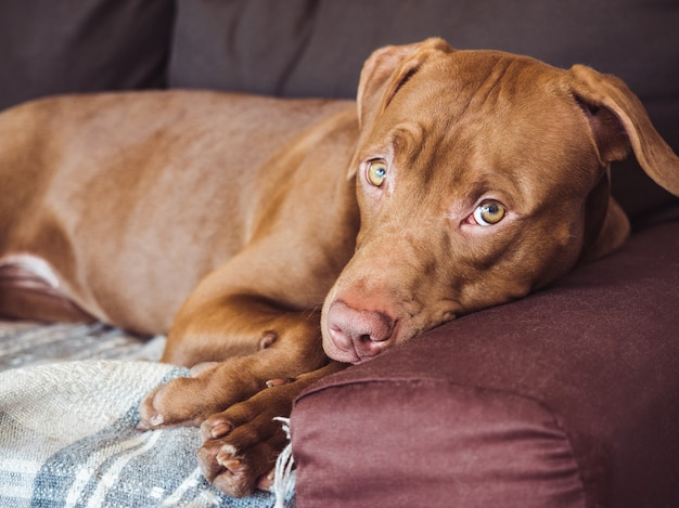 Adorabile, grazioso cucciolo di color cioccolato.