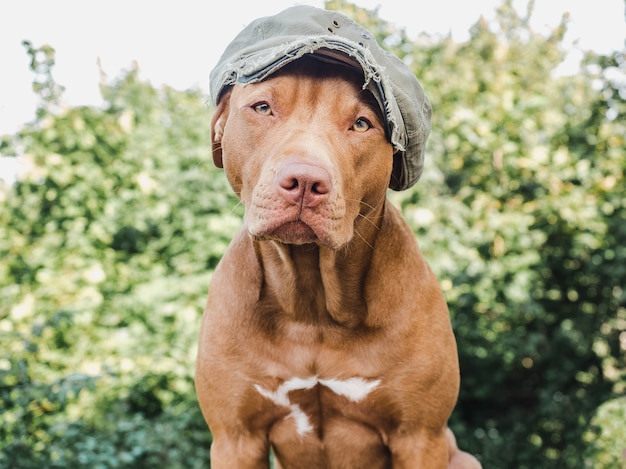 Adorabile, grazioso cucciolo color cioccolato