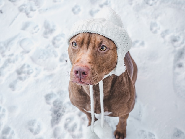 Adorabile, grazioso cucciolo color cioccolato.