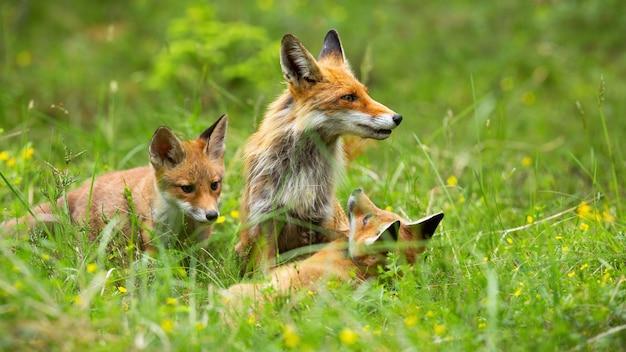 Famiglia amabile della volpe rossa che gioca nell'erba alta sullo schiarimento della foresta