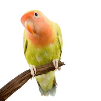 Uccello amore isolato