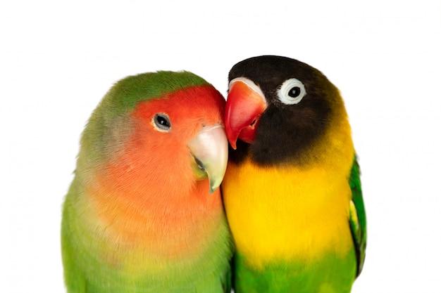 Lovebirds su un ramo