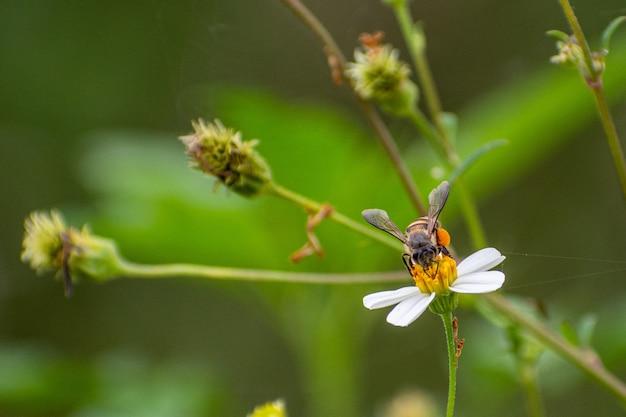 Ape adorabile che raccoglie nettare sulla fotografia naturalistica di fiori bianchi