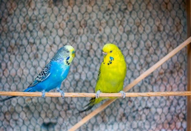 Pappagallini colorati adorabili su un trespolo nella voliera, concetto animale