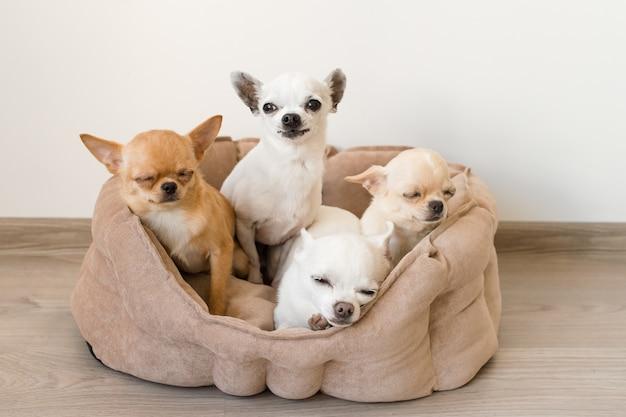 Amici di cuccioli di chihuahua domestici adorabili, carini e belli che si trovano, rilassandosi nel letto del cane