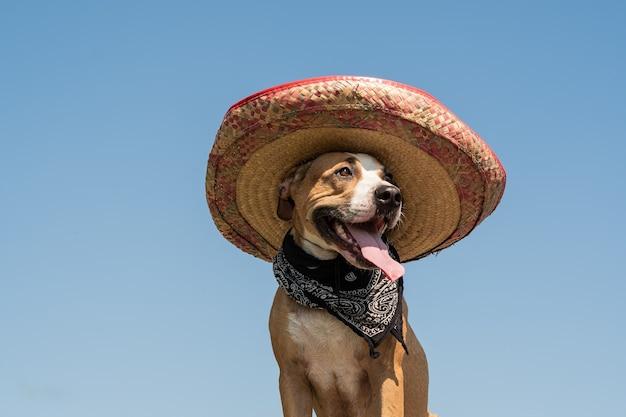 Bel cane con cappello messicano come bandito di gangster in stile occidentale. carino divertente staffordshire terrier vestito con cappello sombrero come simbolo festivo del messico o per halloween