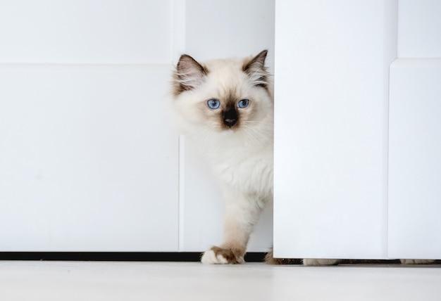 Un adorabile gatto ragdoll bianco lanuginoso guarda fuori da dietro il muro in una stanza luminosa. fa capolino un bellissimo felino di razza con occhi azzurri e naso nero