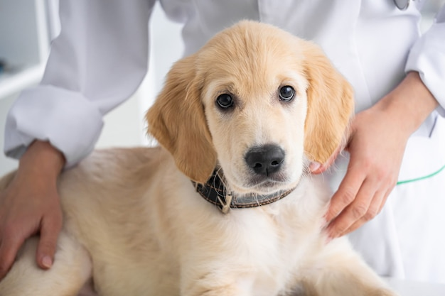 Bel cane da riporto