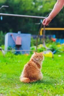 Adorabile gattino rosso purosangue. razza bobtail kurilian. ipoallergeni di gatti. mangiando gamberetti all'uomo padrona.
