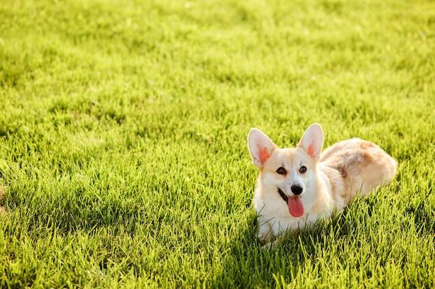 L'adorabile welsh corgi pembroke si rilassa sull'erba verde del prato al tramonto in estate. copia spazio.