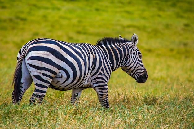 Una bella zebra nel parco nazionale di naivasha hell's gate pieno di animali. kenya walking o bike safari