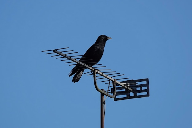 Inquadratura dal basso di un merlo su un'antenna tv contro un cielo blu
