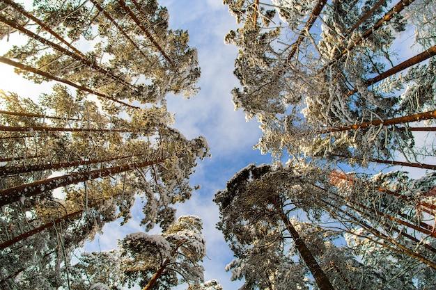 Inquadratura dal basso di alberi innevati nella foresta in una giornata limpida