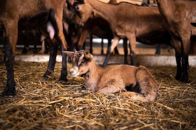 Inquadratura dal basso del ragazzo di capra carino presso la fattoria